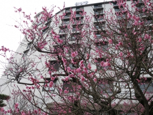 梅の開花情報(2月25日現在)