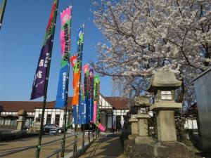 いよいよ春本番!桜が見頃です♪