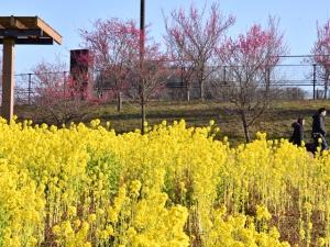 早春の花々を満喫しよう!「国営讃岐まんのう公園 早春フェスタ」