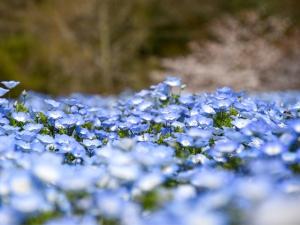 「善通寺五岳の里市民集いの丘公園」春爛漫!ネモフィラの青い絨毯と桜のコラボ ※4月3日(土)若干空室あります