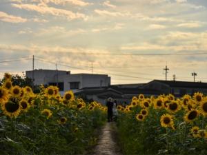 【高松市香南町ひまわり畑】梅雨の晴れ間に映える「ひまわり」が見頃♪