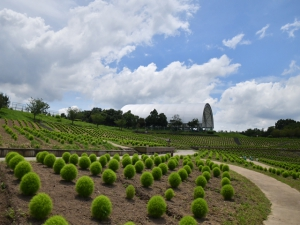 【国営讃岐まんのう公園】ひまわりが見頃♪ライムグリーンのコキアや芝生アートを楽しめます♪