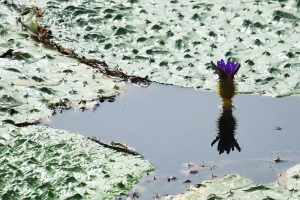 善通寺市稲木町【前池のオニバス】咲いてました。