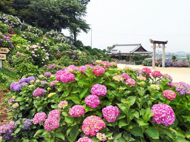 あじさいスポット②~粟井神社~