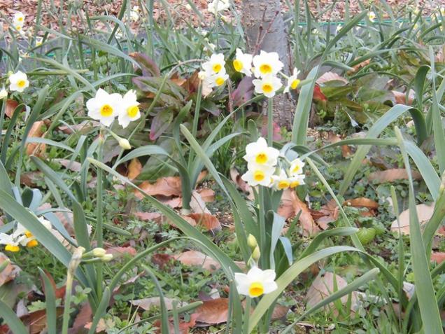 寒空の下、小さな白い花「ニホンズイセン」が咲き始めました