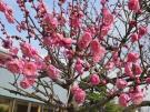 。.:*・゜梅 の 花 開 花 情 報*・゜゚・*:.。..