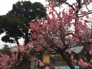 梅の花そろそろ満開!