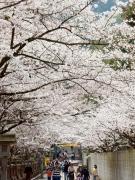 こんぴらさんの桜名所。。。