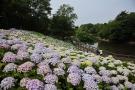 40種2万株の紫陽花が見れるスポット