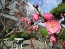 梅の開花状況です。