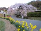【桜スポット①】綾上町にある、西分枝垂桜