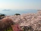 【桜スポット③】紫雲出山