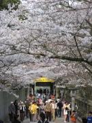 桜スポット②「こんぴらさん」