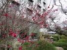 梅の開花情報(2月21日現在)