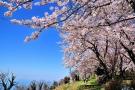 香川県桜の名所①「紫雲出山」