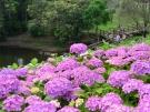 40品種2万株のアジサイが園内を彩る「あじさいまつり」