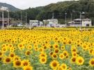 隣町のまんのう町に約120万本のひまわり畑が登場♪(7月上旬頃~)