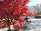 香川用水記念公園の紅葉