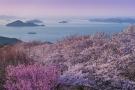 紫雲出山の桜情報!必見!