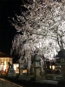レトロな雰囲気漂う「琴平駅前のしだれ桜」