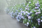 史跡「紫雲出山」の紫陽花♪   ※7月6日空室あります