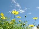 国営讃岐まんのう公園でキバナコスモスが見頃♪~「秋!色どりフェスタ」