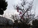 紅梅亭の梅が咲き始めました  ※2月1日空室ございます。