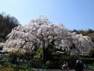 【綾川町西分】堀池のしだれ桜が見頃♪