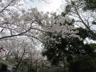 琴平町公会堂の桜が咲き始めていました