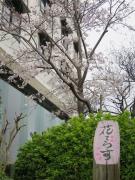 1階花てらす庭園の桜が咲き始めました