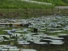 プチ「モネの庭」?青い睡蓮が咲いています   「財田里山ビオトープ」