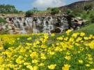 【国営讃岐まんのう公園】キバナコスモスやコキアが楽しめます