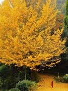 香川県の紅葉スポット 「釈迦堂の大イチョウ」