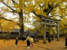 【岩部八幡神社】樹齢600年、樹齢400年!2つの大イチョウが見頃♪