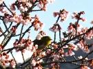 【丸亀市・福成寺】一足早い春を感じさせてくれる寒桜とメジロ♪