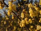 【三豊市・延命寺】蝋梅の甘い香りが春の訪れを感じさせてくれます