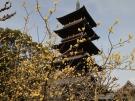 【本山寺】蝋梅が見頃でした