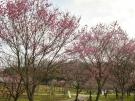 【国営讃岐まんのう公園】一足早く桜のお花見を堪能♪