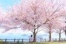 【紫雲出山】瀬戸内海とサクラの共演🌸お花見はオンラインでご予約を!
