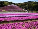 【芝桜富士】香川県東かがわ市にある現在進行形、芝桜の私設公園♪