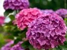 梅雨の時期を彩る香川の観光スポット★「粟井神社」の紫陽花