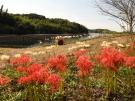 【宝山湖公園】満開時には赤と白の彼岸花が山の斜面を彩る。青い睡蓮も見頃。