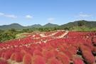 """【国営讃岐まんのう公園】花巡りの丘★""""紅葉する草""""コキアが赤く色づきはじめています"""