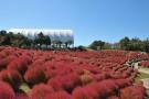 【国営讃岐まんのう公園】コキアの紅葉は今週末がピーク!コスモスも見頃です