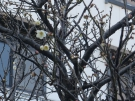 Plum blossom is in full blooming on 2/2