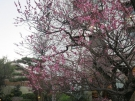 White Plum is blooming (2/12/2019)!!!