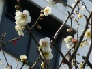 White Plum blossom is in full blooming this WEEK!