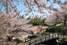Famous cherry blossom spots - 4