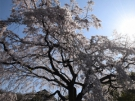 Famous spots of sakura blossom viewing ①