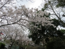 Famous spots of sakura blossom viewing ②